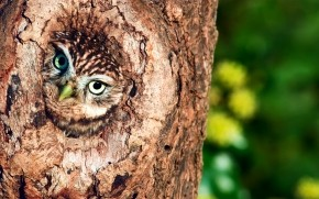 Owl in Tree Hollow  wallpaper
