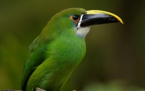 Emerald Toucanet wallpaper
