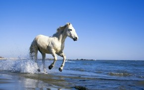 White Horse Running on the Beach wallpaper