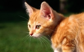 Red Kitten wallpaper