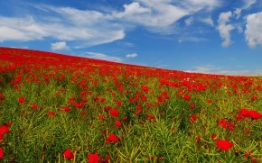 Poppies Field wallpaper