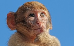 Macaque Monkey wallpaper