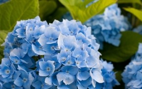 Blue Hydrangea Flower wallpaper