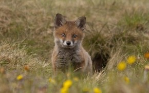 Cute Fox Cub wallpaper