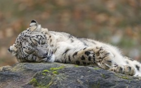 Sleeping Snow Leopard  wallpaper