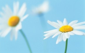 Beautiful White Daisies wallpaper