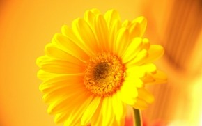 Yellow Gerbera wallpaper