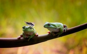 Frogs Couple wallpaper