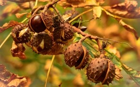 Chestnut Tree wallpaper