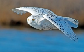 White Owl Flying wallpaper