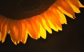 Sunflower Petals wallpaper