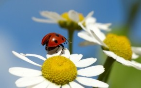 Ladybug on a Chamomile Flower wallpaper