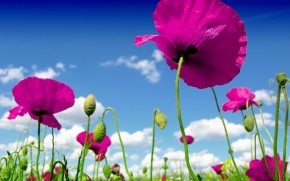 Pink Poppies wallpaper