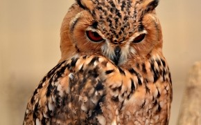 Desert Eagle Owl wallpaper