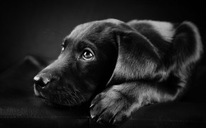 Black Labrador Puppy wallpaper