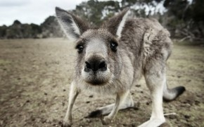Kangaroo Close Up wallpaper