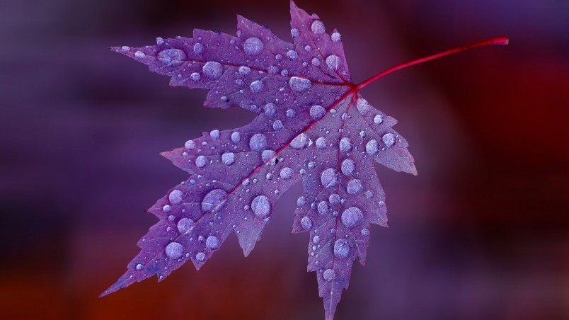 Water Drops on Purple Leaf  wallpaper