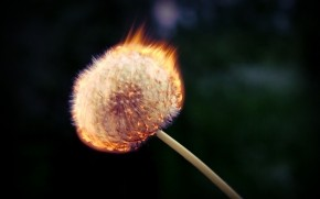 Burning Dandelion wallpaper