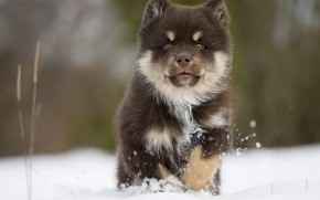 Finnish Lapphund Puppy wallpaper