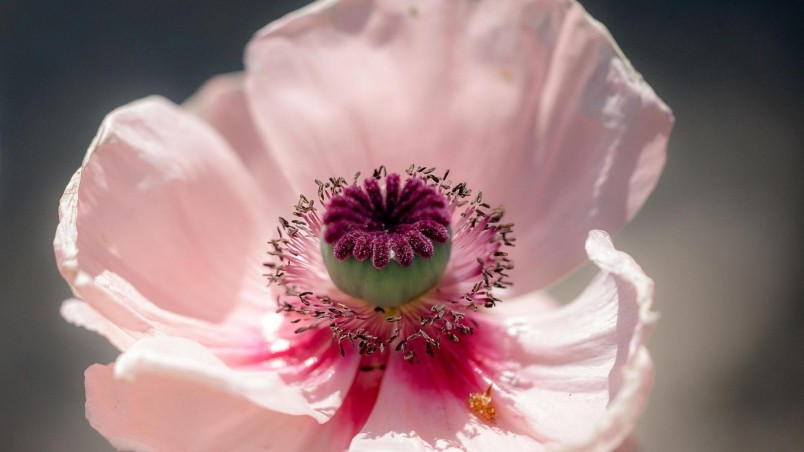 Pink Poppy wallpaper