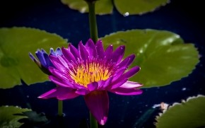 Purple Water Lily wallpaper