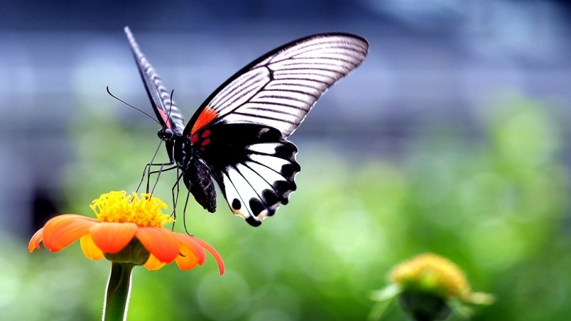 Beautiful Butterfly On Orange Flower Hd Wallpaper Wallpaperfx