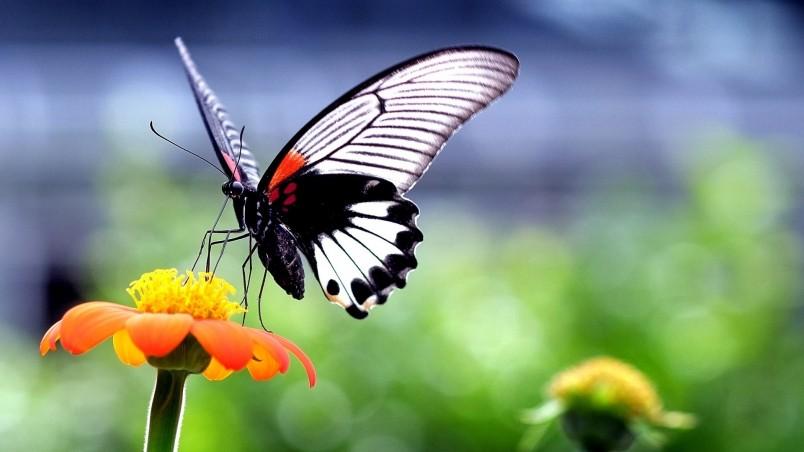 Beautiful Butterfly on Orange Flower HD Wallpaper ... Wallpapers Of Butterflies