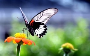 Beautiful Butterfly on Orange Flower wallpaper
