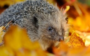 Hedgehog in Autumn Leaves wallpaper