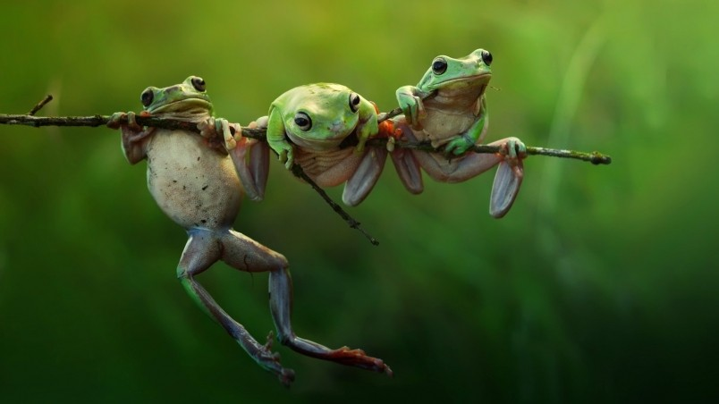 Three Frogs on a Branch wallpaper