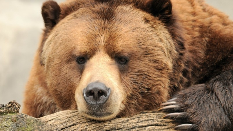 Beautiful Big Brown Bear Hd Wallpaper Wallpaperfx