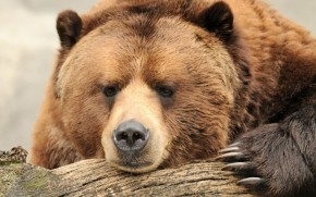 Beautiful Big Brown Bear wallpaper