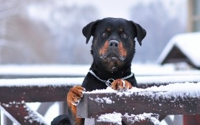 Rottweiler and Snow wallpaper