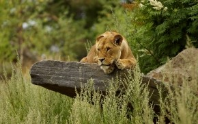Cute Lion Relaxing wallpaper