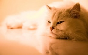 Beautiful Persian Cat wallpaper