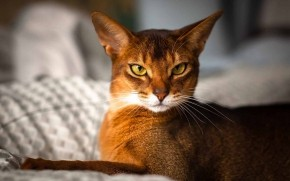 Beautiful Abyssinian Cat wallpaper