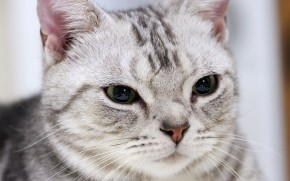Gorgeous American Shorthair Cat wallpaper