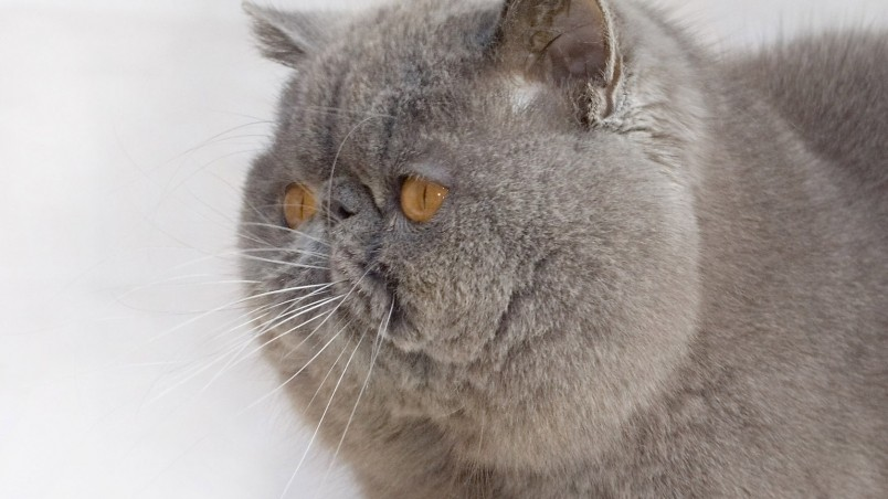 Exotic Shorthair Cat wallpaper
