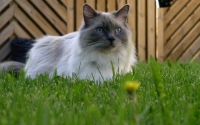 Blue Mitted Ragdoll wallpaper