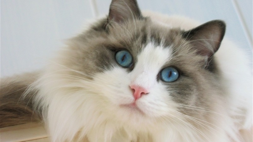 Blue Eyes Ragdoll Cat HD Wallpaper  WallpaperFX