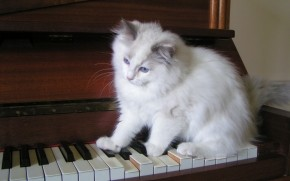 Ragdoll Tortie Playing the Piano wallpaper