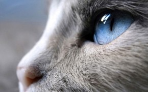 Incredible Siamese Cat Profile Look wallpaper