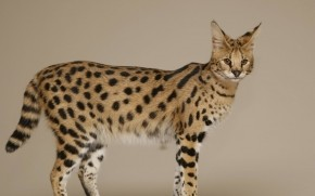 Savannah Cat wallpaper