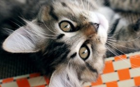 American Bobtail Cat Close Up wallpaper