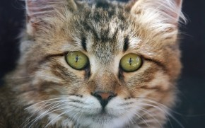 American Bobtail Cat Face wallpaper