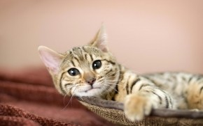 Relaxing American Bobtail Cat wallpaper