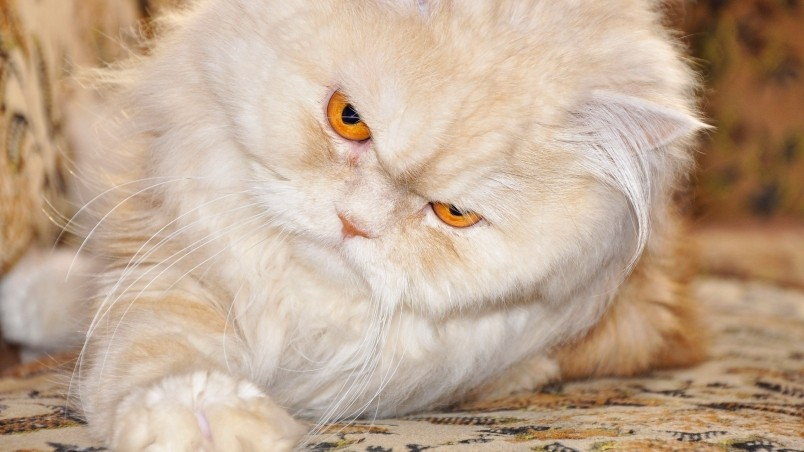 Persian Cat With Red Eyes Hd Wallpaper Wallpaperfx