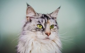 Silver Maine Coon Cat with Green Eyes wallpaper