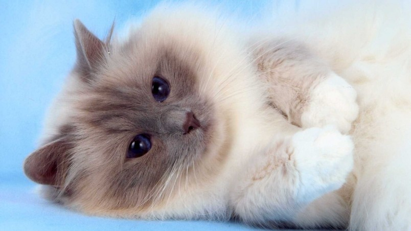 Fluffy Birman Cat wallpaper
