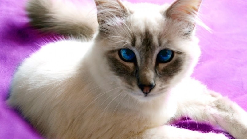 Birman Cat with Blue Eyes wallpaper